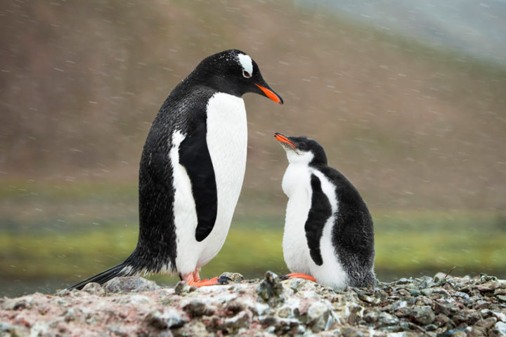 Gentoo_Penguin_Family