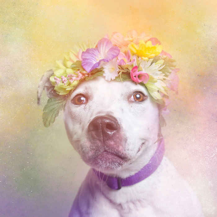 flower-power-pit-bulls-dog-adoption-photography-sophie-gamand-9